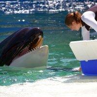 Смелые девчата, касатка это не шутка,это кит убийца. :: Яков Геллер
