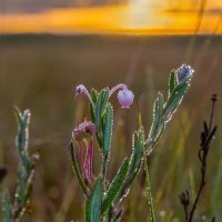 Цветёт подбел на болоте. :: Фёдор. Лашков