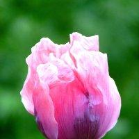 Это не тюльпан-это мак. :: nadyasilyuk Вознюк