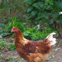 Курица-молодка :: Олег