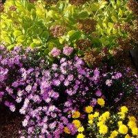 Осенний подарок - седум, сентябринки и хризантемы :: Нина Корешкова