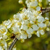 белые весенние :: Света Кондрашова