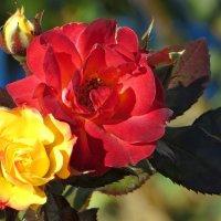 Сладкий запах поздних роз :: Татьяна Смоляниченко
