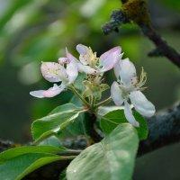 Весны цветенье... (этюд 6) :: Константин Жирнов