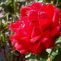 Осенняя роза :: Нина Корешкова