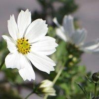 Цветок космеи :: Татьяна Смоляниченко