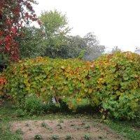 Виноград в сентябре :: Дмитрий Никитин