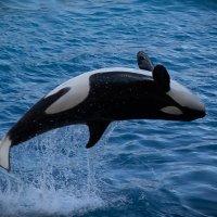 летющий кит :: Елена Заичко