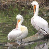 Пеликаны чистят пёрышки. :: Вадим Синюхин