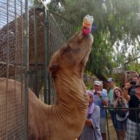 - Там, где верблюд, там кока-кола! :: Чария Зоя