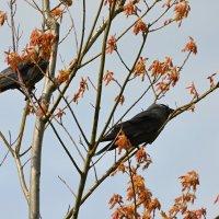 галки :: linnud