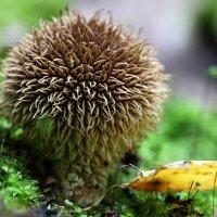 Дождевик ежевидно-колючий (Lycoperdon echinatum) :: Валерий Князькин