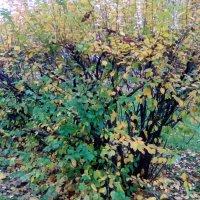 Осенний куст из Александровского парка. :: Светлана Калмыкова