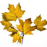 Просто листья... :: Sergey Apinis