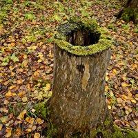 В лесу торчал красивый пень.-) :: Любовь Чунарёва