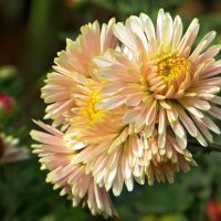 Красота осенних цветов :: Татьяна Смоляниченко