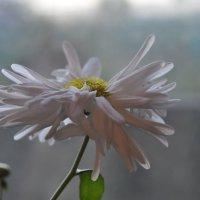 Хризантемы!! Зимние... Вы знаете как пахнут хризантемы?! :: Tatyana Kuchina