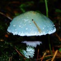 Строфария сине-зеленая, съедобная :: Валентина Пирогова