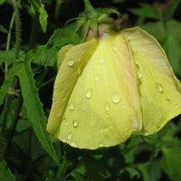 Недолговечный цветок джунглей. :: Лариса (Phinikia) Двойникова