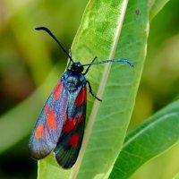 Бабочка пестрянка :: Вероника