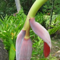 Так цветёт банан :: Phinikia
