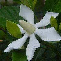 Цветок-пропеллер :: Лариса (Phinikia) Двойникова