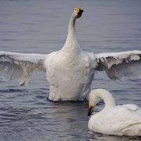 Как лебеди хороши, в водах зимнего залива 7 :: Сергей Жуков