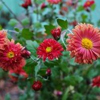 Последние осенние цветы :: Лариса Коломиец