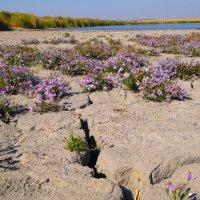 Цветущие в засуху... :: Сергей Махонин
