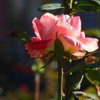 Сентябрь,розы в парке...3 :: Тамара (st.tamara)