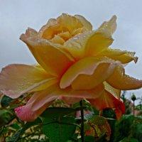Розы октября.. :: Galina Dzubina