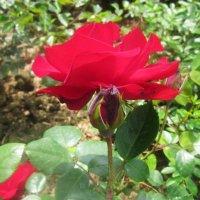 Красная розочка... :: татьяна