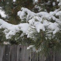 Снег и сосна. :: юрий Амосов