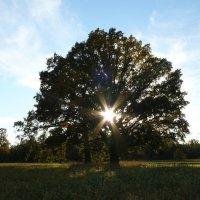 солнечная шести лучевая звезда в ветвях дерева :: Дмитрий Гринкевич