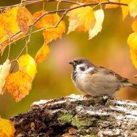 Осенний воробей :: Влад