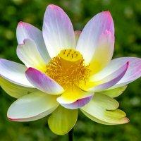 Цветок лотоса :: Oleg