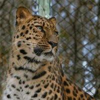 Дальневосточный леопард :: cfysx