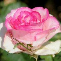 Роза..с запахом богомола.. :: Валентина Дмитровская