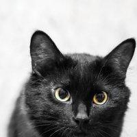 Black cat. :: Владимир Лазарев