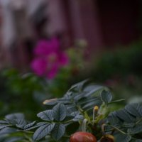 Осенний шиповник :: Марина Кушнарева
