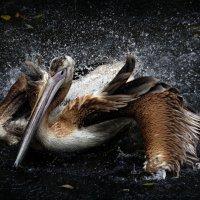 пеликаны :: Михаил Бибичков