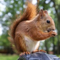 red squirrel :: Евгений Улащик