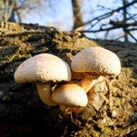 Три грибочка :: Виталий Комаров