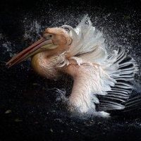 Розовый пеликан :: Михаил Бибичков