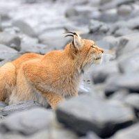 Рысь :: Alexander Dersu