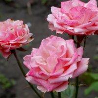Осенние розы... :: Тамара (st.tamara)