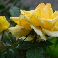 Осенние розы...2 :: Тамара (st.tamara)