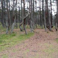 В лесу среди танцующих деревьев :: Елена Байдакова
