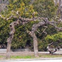 Скрюченные деревья... :: Алла Рыженко