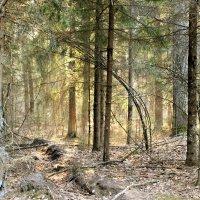 лесной бор :: оксана